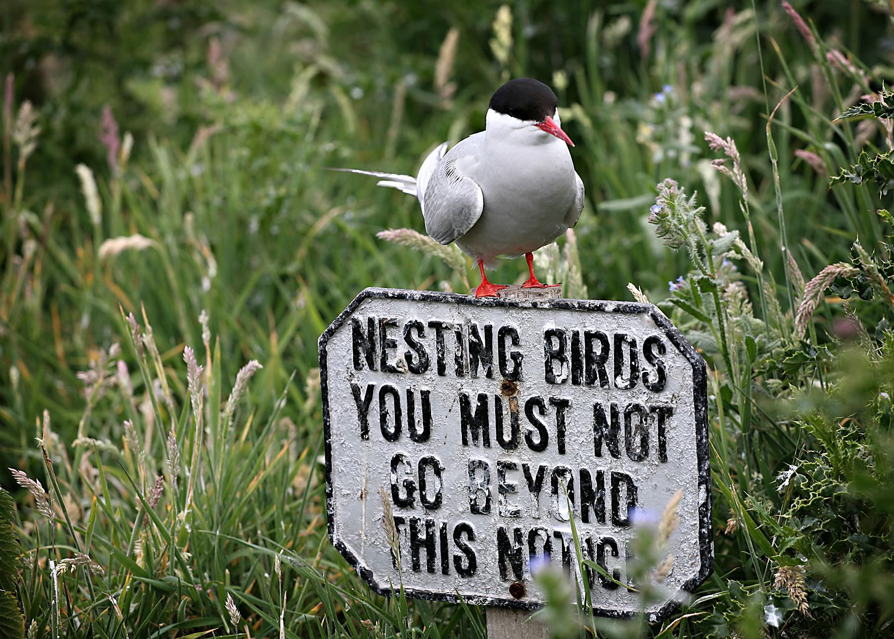 Cheeky Tern
