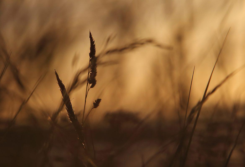 sunset grasses